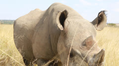 Rhino in Zimbabwe in Africa Stock Footage