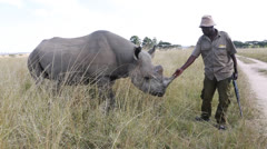 Rhino with guard in Zimbabwe in Africa Stock Footage