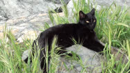 Black cat rests in grass Stock Footage