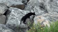 Black cat walks on rocks Stock Footage