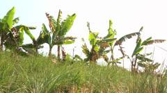 Banana Plant Stock Footage