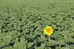 the first blooming sunflower - stock photo