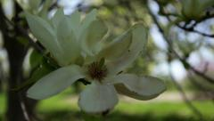 Slow pan down to large white magnolia flower - stock footage