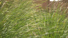 Vetiver Gras in Desert Stock Footage