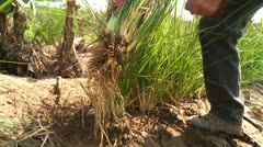 Root Out Vetiver Gras in Desert Stock Footage
