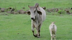 Brahman Cattle and Goat - stock footage