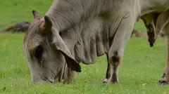 Stock Video Footage of Brahman Cattle 2