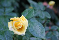 yellow rose in the garden - stock photo