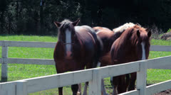 Horses at horse farm. Horses in fenced area at ranch. Group of young horses Stock Footage
