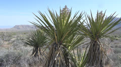 Stock Video Footage of Nevada yuccas