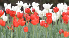 Red and White Tulips in the park. Stock Footage