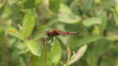 Calico Pennant (Celithemis elisa) Dragonfly - Male 1 Stock Footage