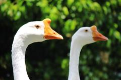 Stock Photo of White Chinese geese close up