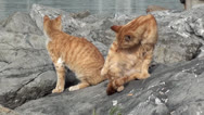 Stock Video Footage of Two ginger cats scratch and wash up