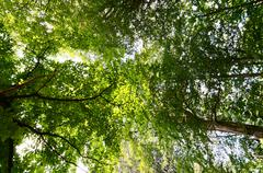 Dizzy Under Trees Looking Up In A Forest - stock photo