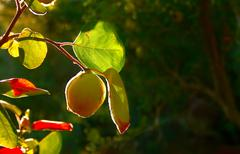 quince fruit on tree - stock photo