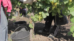 People gathering grapes to buckets in vineyard - stock footage