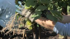 People are gathering grapes with scissors in vineyard - stock footage