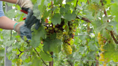 Gathering grapes with scissors Stock Footage