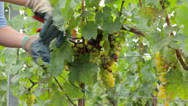 Stock Video Footage of Gathering grapes with scissors