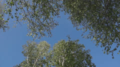 Tops of the trees against the blue sky Stock Footage
