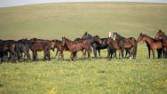 Herd of horses on a summer green pasture Stock Footage