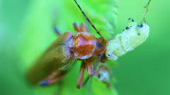 Soldier Beetle eat caterpillar Stock Footage