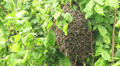 Swarm of bees clustered on the limb of a bush. 3 HD Footage