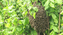 Swarm of bees clustered on the limb of a bush. 3 Stock Footage
