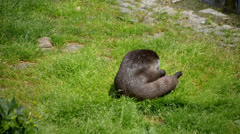 otter.mp4 - stock footage