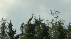 Grey heron taking off Stock Footage