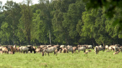 Large herd of horses grazing Stock Footage