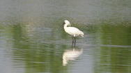 Stock Video Footage of Common Spoonbills - Platalea leucorodia
