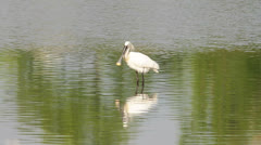 Common Spoonbills - Platalea leucorodia Stock Footage