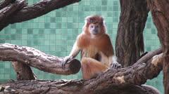 Sitting monkey Stock Footage