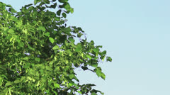 Tree branch of linden tree with young green leaves Stock Footage