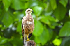 Stock Photo of savanna hawk
