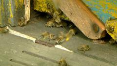 Bees flying with bee pollen into a hive. 1 Stock Footage