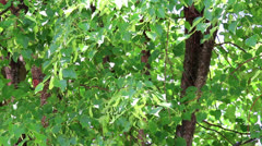 Background of tree branch of linden tree - stock footage