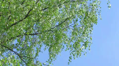 Branch of birch tree with young green leaves - stock footage