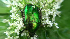 Green Rose Chafer (Cetonia Aurata) is feeding on a flowers. - stock footage