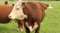 Hereford cows Stock Footage