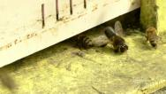 Stock Video Footage of Bees and drones at the inlet to the hive.