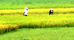 Rice paddies in rural, asia Stock Footage