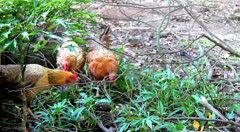 Hens foraging in the garden Stock Footage