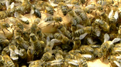 Swarm of bees entering into trap box during swarming. Stock Footage