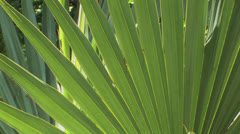 Dwarf palmetto of Big Thicket Stock Footage