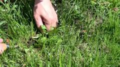 Picking weeds Stock Footage