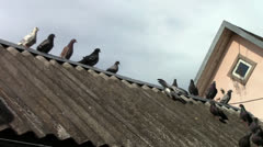 Grey pigeons on the roof Stock Footage