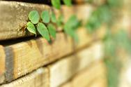 Creeper plant on old bricks wall.shallow depth of field Stock Photos